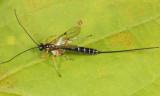 Perithous scurra pleuralis (female)