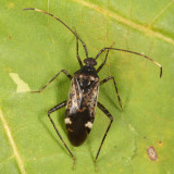 Eustictus sp.
