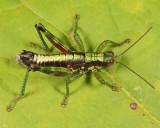 Wingless Mountain Grasshopper - Booneacris glacialis