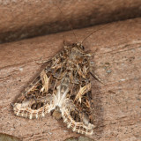 9669 - Yellow-striped Armyworm - Spodoptera ornithogalli