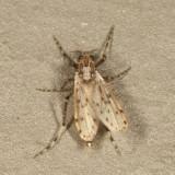 Chaoborus punctipennis