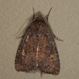 9367.1 - Thoughtful Apamea - Apamea cogitata