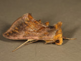 8898 - Unspotted Looper - Allagrapha aerea