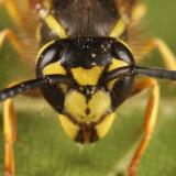 Downy Yellowjacket - Vespula flavopilosa