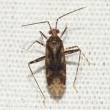 Phytocoris sp.