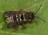 Epeolus autumnalis