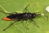 Protichneumon grandis