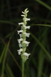 Nodding Ladies'-tresses - Spiranthes cernua