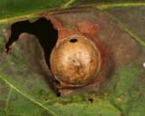Andricus quercussingularis
