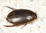 Acilius sylvanus (male)