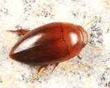 Burrowing Water Beetles - Noteridae