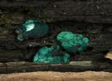 Chlorociboria aeruginescens (Blue Stain)