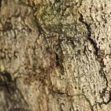 Limonia annulata (mating pair)