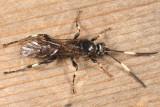 Cratichneumon sublatus