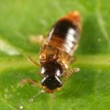 Gyrophaena sp.