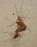 Cladura flavoferruginea (mating group)