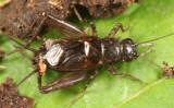 Carolina Ground Cricket - Eunemobius carolinus