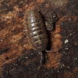 Pillbug - Armadillidium vulgare