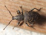 Black Vine Weevil - Otiorhynchus sulcatus