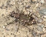 Common Shore Tiger Beetle - Cicindela repanda