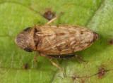 Anoscopus serratulae (female)