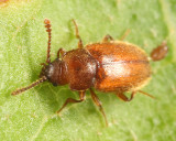 Cryptophagus laticollis