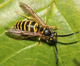 Eastern Yellowjacket - Vespula maculifrons (male)
