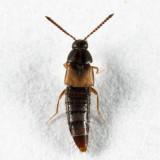 Nehemitropia lividipennis