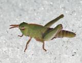 Northern Green-striped Grasshopper (on the snow) - Chortophaga viridifasciata