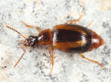 Trigonodemus striatus