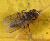 Little House Fly - Fannia canicularis