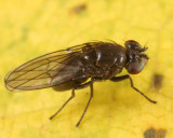 Notiphila caudata