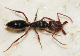 Odontomachus ruginodis?