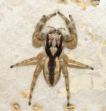 Gray Wall Jumper - Menemerus bivittatus