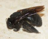 Xylocopa mordax (female)