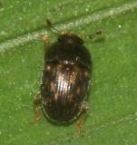 Nitidulidae - Stelidota sp.
