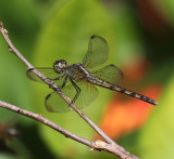 Erythrodiplax umbrata (female)