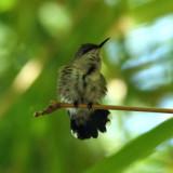 Vervain Hummingbird - Mellisuga minima