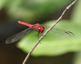 Orthemis sp. (undescribed male)