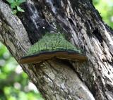 Dominican Fungi