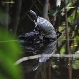 Dominican Slider - Trachemys stejnegeri vicina