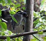 Yellow-crowned Night-Heron - Nyctanassa violacea