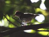 Ovenbird - Seiurus aurocapillus