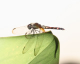 Erythrodiplax fervida (female)