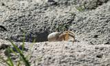 Ghost Crab - Ocypode sp.