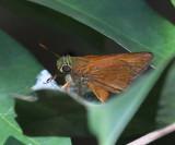 Euphyes singularis isolata
