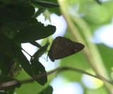 Florida Purplewing - Eunica tatila