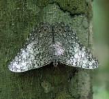Gray Cracker - Hamadryas februa