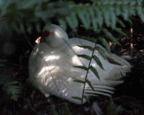 Muscovy Duck - Cairina moschata (domestic)