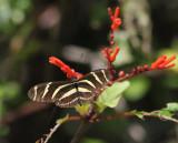 Zebra Longwing - Heliconia charithonia